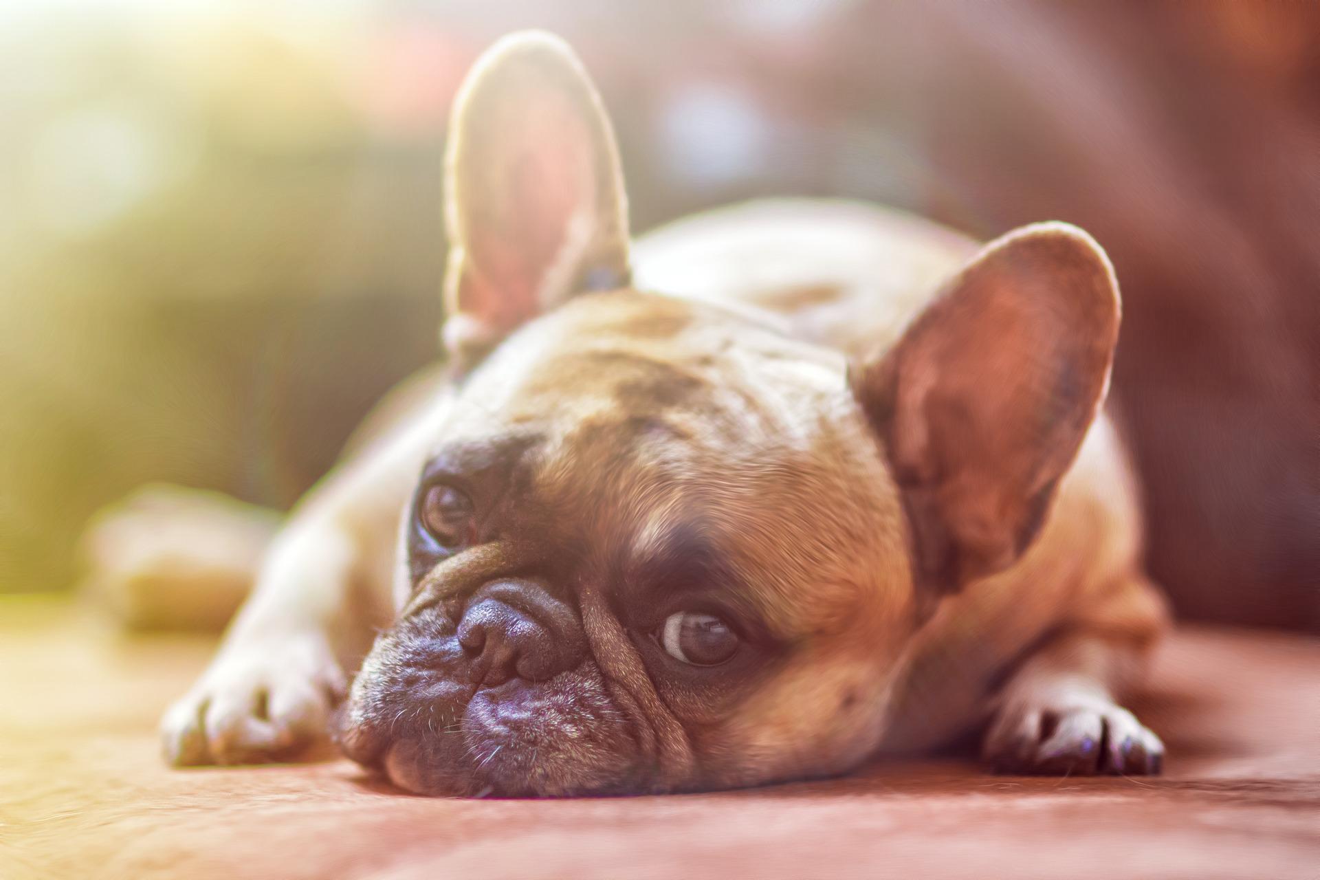 Diese Leitsymptome für Schmerzen beim Hund solltet Ihr kennen (&: bei DIESEM Verhalten sofort zum Tierarzt!)