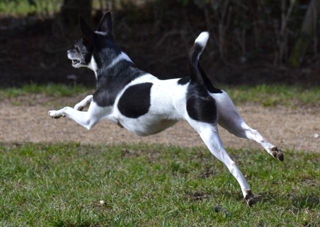 Hund läuft und springt